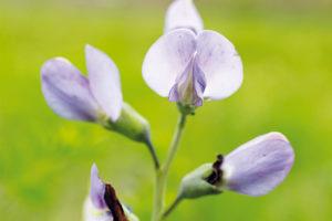 Le desmodium: la plante du foie