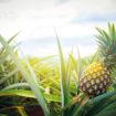 ananas-2