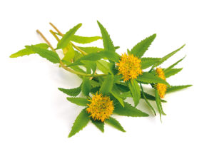 La Rhodiola contre le stress émotionnel !