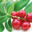 Cranberries : elles lutteraient contre les bactéries difficiles à traiter