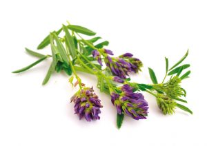 L'alfalfa : une source de vertus reminéralisantes