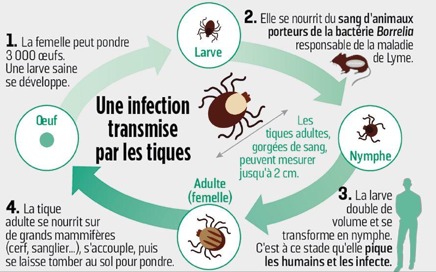 une infection transmise par les tiques
