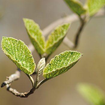 Le bourgeon d'aulne : stimulant des défenses immunitaires