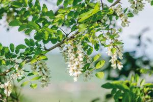 La fibre d'acacia : un prébiotique garanti sans FODMAP