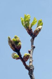 Le bourgeon de chêne: stimulant de l'organisme
