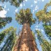 La jeune pousse de séquoia: l'alliée de l'homme
