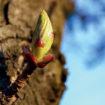 Le bourgeon de marronnier d'Inde: un tonique veineux