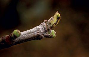 Le bourgeon de figuier (Ficus carica)