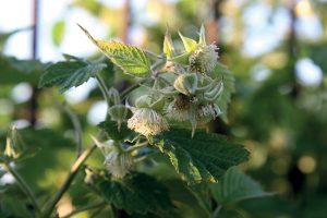 La jeune pousse de framboisier (Rubus idaeus)