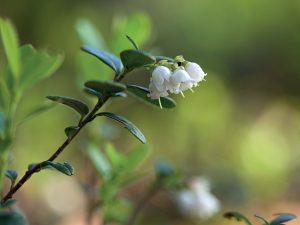La jeune pousse d'airelle (Vaccinium vitis idaea)