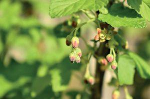 Le bourgeon de cassis (Ribes nigrum)