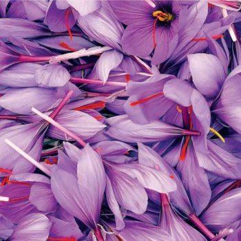 Le safran, cette plante précieuse aux multiples vertus …