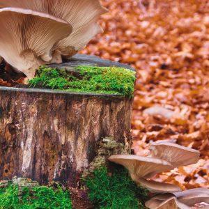 Certains types de champignons sont une source de bêta-glucane