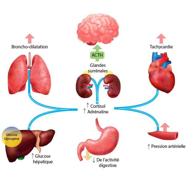 Rôle anti inflammatoire du Cortisol