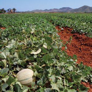 champs de melon